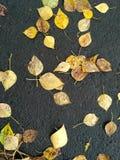 Folhas do álamo na estrada asfaltada Fotos de Stock Royalty Free