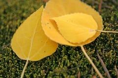 Folhas do álamo tremedor do tempo de queda Imagens de Stock Royalty Free