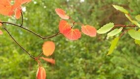Folhas do álamo tremedor no vento video estoque