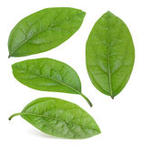 Folhas do abacate isoladas Foto de Stock