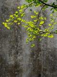 Folhas do abricó Foto de Stock