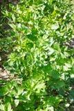 Folhas do aipo vermelho na terra do jardim Foto de Stock