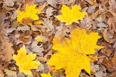 Folhas do amarelo Imagem de Stock Royalty Free