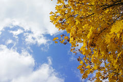 Folhas do amarelo da estação do outono Fotografia de Stock Royalty Free