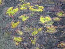 Folhas do amarelo de uma estação de tratamento de água sob o lago congelado fotos de stock royalty free