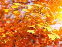Folhas do amarelo do bordo do outono Fundo da queda Fotos de Stock Royalty Free