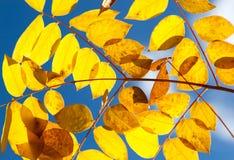 Folhas do amarelo do outono de encontro ao céu Imagem de Stock Royalty Free