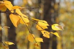 Folhas do amarelo do outono e galhos, estações: outono Foto de Stock Royalty Free