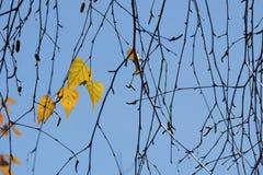 Folhas do amarelo do outono e galhos, estações: outono Fotos de Stock