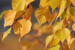 Folhas do amarelo do outono e galhos, estações: outono Imagens de Stock