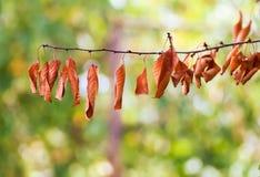 Folhas do amarelo do outono em uma filial de árvore Fotografia de Stock