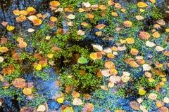 Folhas do amarelo do outono na água Fotos de Stock