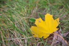 Folhas do amarelo do outono na grama Fotografia de Stock Royalty Free