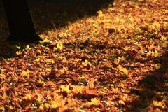 Folhas do amarelo do outono no parque Imagem de Stock Royalty Free