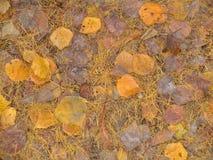 Folhas do amarelo e agulhas, fundo do outono, Fotos de Stock Royalty Free