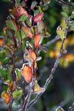 Folhas do amarelo e do rosa Imagens de Stock Royalty Free