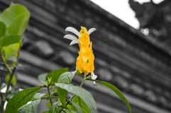 Folhas do amarelo e flor emergente branca - destacadas Fotografia de Stock