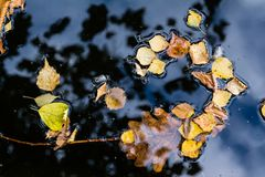 Folhas do amarelo na água Imagens de Stock Royalty Free