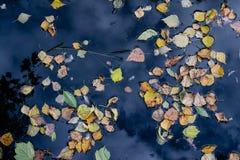 Folhas do amarelo na água Imagens de Stock