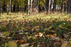 Folhas do amarelo na grama imagens de stock