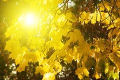 Folhas do amarelo na luz solar imagens de stock royalty free