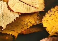 Folhas do amarelo na poça Imagem de Stock Royalty Free