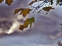 Folhas do amarelo no final do outono Fotografia de Stock Royalty Free