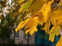 Folhas do amarelo no final do outono Fotos de Stock