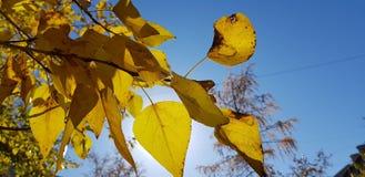 Folhas do amarelo no fundo do céu da luz solar k imagem de stock royalty free