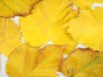 Folhas do amarelo no fundo da queda Imagem de Stock
