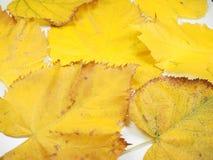 Folhas do amarelo no fundo da queda Imagens de Stock