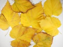 Folhas do amarelo no fundo da queda Fotografia de Stock