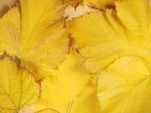 Folhas do amarelo no fundo da queda Fotos de Stock Royalty Free