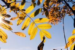 Folhas do amarelo no fundo do céu azul Imagem de Stock