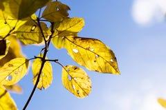 Folhas do amarelo no fundo do céu azul Imagens de Stock Royalty Free