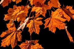 Folhas do amarelo no fundo preto Folha de queda foto de stock