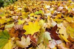 Folhas do amarelo no outono Fotos de Stock