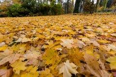 Folhas do amarelo no outono Imagens de Stock Royalty Free