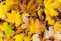 Folhas do amarelo no outono Fotografia de Stock Royalty Free