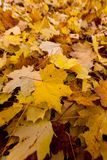 Folhas do amarelo no outono Fotos de Stock Royalty Free
