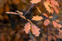 Folhas do amarelo do outono em um carvalho Noite crepuscular fotos de stock