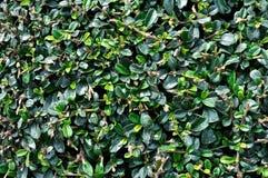 Folhas do arbusto verde como o fundo Fotos de Stock