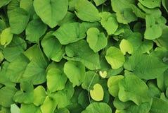 Folhas do Aristolochia Imagem de Stock Royalty Free