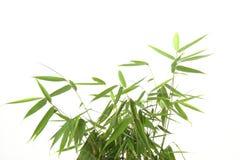 Folhas do bambu Fotografia de Stock