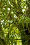 Folhas do bambu Imagens de Stock Royalty Free
