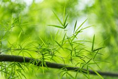 Folhas do bambu Imagens de Stock