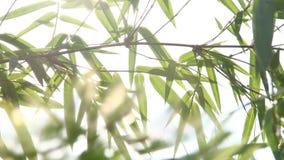 Folhas do bambu com luz solar, Chiangmai Tailândia vídeos de arquivo