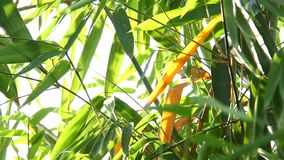 Folhas do bambu com luz solar, Chiangmai Tailândia video estoque
