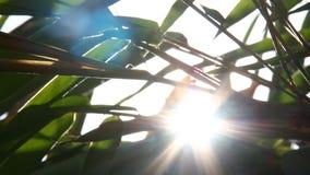 Folhas do bambu com luz solar, Chiangmai Tailândia filme
