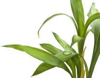 Folhas do bambu isoladas no branco Imagem de Stock